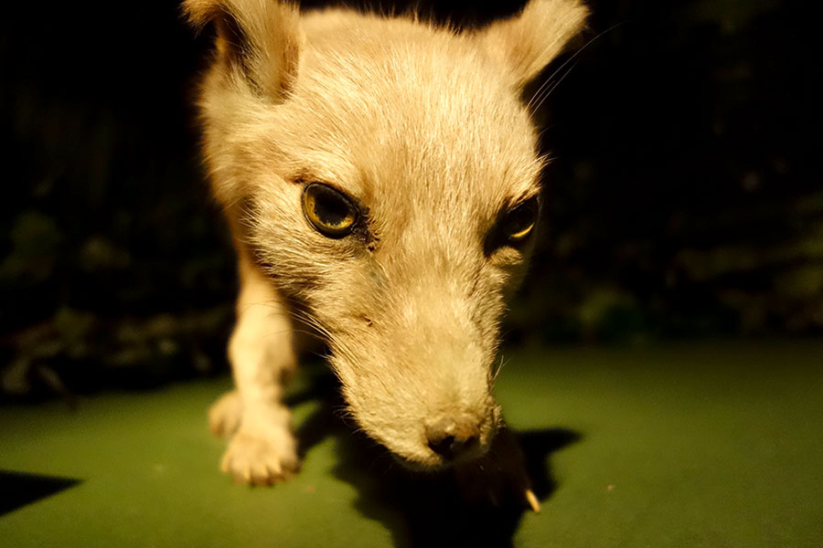 amazon_5_fox
